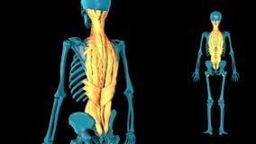Muscle of vertebral column - 3D model