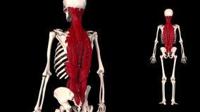 Muscle of vertebral column real color - 3D model