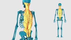 Muscle of vertebral column on a white background - 3D model