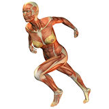 Muscle woman running. 3D rendering of the muscle when the woman running Royalty Free Stock Photos