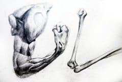чертеж анатомирования muscles работы студии Стоковые Фотографии RF