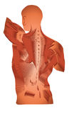 Muscles. Human anatomy of Muscles. Detailed diagram of back muscles stock illustration