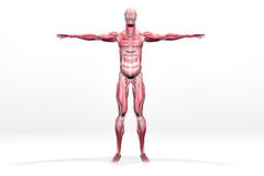 Muscles Stock Images