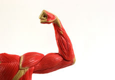 Muscles. Flex muscles of shoulder and arm with fist Stock Photos
