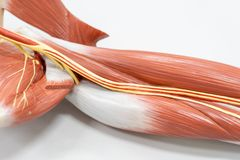 Muscles of the arm for anatomy education stock images