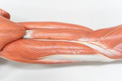 Muscles of the arm for anatomy education stock image