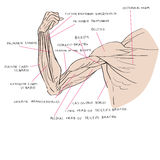 Muscles of the arm color Royalty Free Stock Image