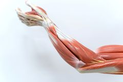 Muscles of arm for physiology education. Muscles of the arm for physiology education stock photos