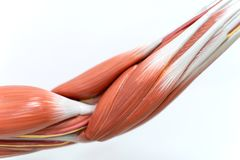 Muscles of arm for physiology education. Muscles of the arm for physiology education stock photo