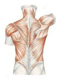 Muscles of the back. A sketch of the human body. Muscles of the back Royalty Free Stock Photography