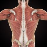 Muscles of the Back Anatomy. Illustration. 3D render royalty free illustration