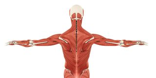 Muscles of the Back Anatomy. Isolated on white background. 3D render vector illustration