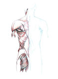 Muscles of back, shoulders and buttocks. Hand drawn medical illustration drawing with imitation of lithography: Muscles of back, shoulders and buttocks Stock Photos