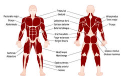 Muscles Chart Description Muscular Body Man Royalty Free Stock Photo