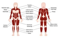 Muscles Chart Description Muscular Body Woman. Muscle chart with accurate description of the most important muscles of the female body - front and back view Stock Image