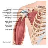 Muscles d'illustration médicale d'épaule et de bras 3d sur le fond blanc illustration de vecteur