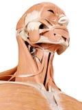 Muscles de cou photo libre de droits