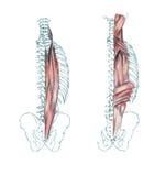 Muscles de dos illustration de vecteur