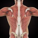Muscles de l'anatomie arrière illustration libre de droits