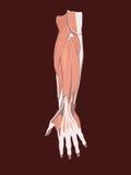 Muscles de main Image libre de droits