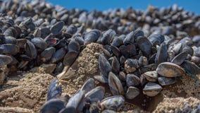 Muscles de mer sur des roches Images stock