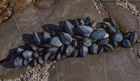 Muscles de mer sur des roches Image stock