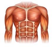Muscles du torse illustration de vecteur