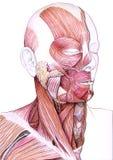 Muscles du visage et du cou Photographie stock libre de droits