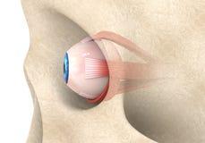 Muscles Extraocular d'oeil humain Photos libres de droits