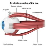 Muscles of the eye, 3d medical vector illustration on white background stock illustration
