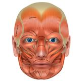 Muscles of the face Stock Photo