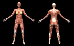 Muscles female Royalty Free Stock Photography