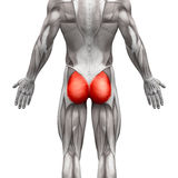 Muscles fessiers/Gluteus Maximus - muscles d'anatomie d'isolement dessus Image stock