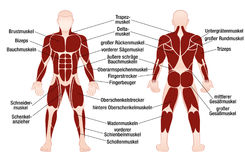 Muscles German Names Chart Muscular Male Body. Muscle chart with german description of the most important muscles of the human body - front and back view Royalty Free Stock Photo