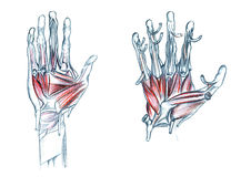 Muscles of hand. Hand drawn medical illustration drawing with imitation of lithography: Muscles of hand Stock Photo