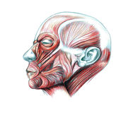 Muscles of head. Hand drawn medical illustration drawing with imitation of lithography: Muscles of head Royalty Free Stock Image