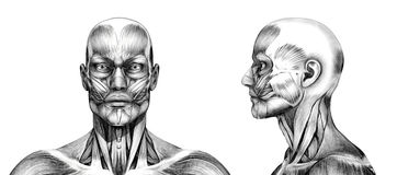 Muscles of the Head - Pencil Drawing Style Royalty Free Stock Photos