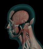 Muscles humains d'anatomie de profil d'une tête Photos libres de droits