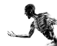 Muscles On Human Body 17. An image of a man without any skin, with his muscles exposed a suitable image for Halloween Stock Images