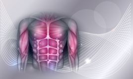 Chest and abdomen muscles. Muscles of the human body, abdomen, chest and arms, beautiful colorful illustration on an abstract background royalty free illustration