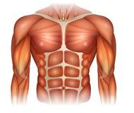 Muscles of the torso. Muscles of the human body, torso and arms, beautiful colorful illustration Royalty Free Stock Images