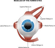 Muscles of the human eyes Royalty Free Stock Photos