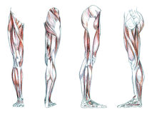 Muscles of leg. Hand drawn medical illustration drawing with imitation of lithography: Muscles of leg Stock Image