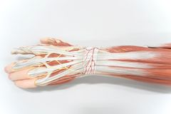 Muscles of the palm hand for anatomy education. Human physiology royalty free stock photo
