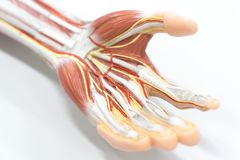 Muscles of the palm hand for anatomy education stock image