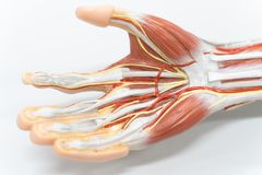 Muscles of the palm hand for anatomy education. Human physiology royalty free stock photos