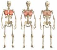 Muscles pectoraux sur le squelette Photo stock