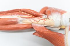 Muscles of the shoulder for anatomy education. Human phisiology stock photography