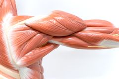 Muscles of shoulder for physiology education royalty free stock photos