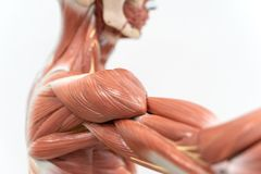 Muscles of shoulder for physiology education royalty free stock photo